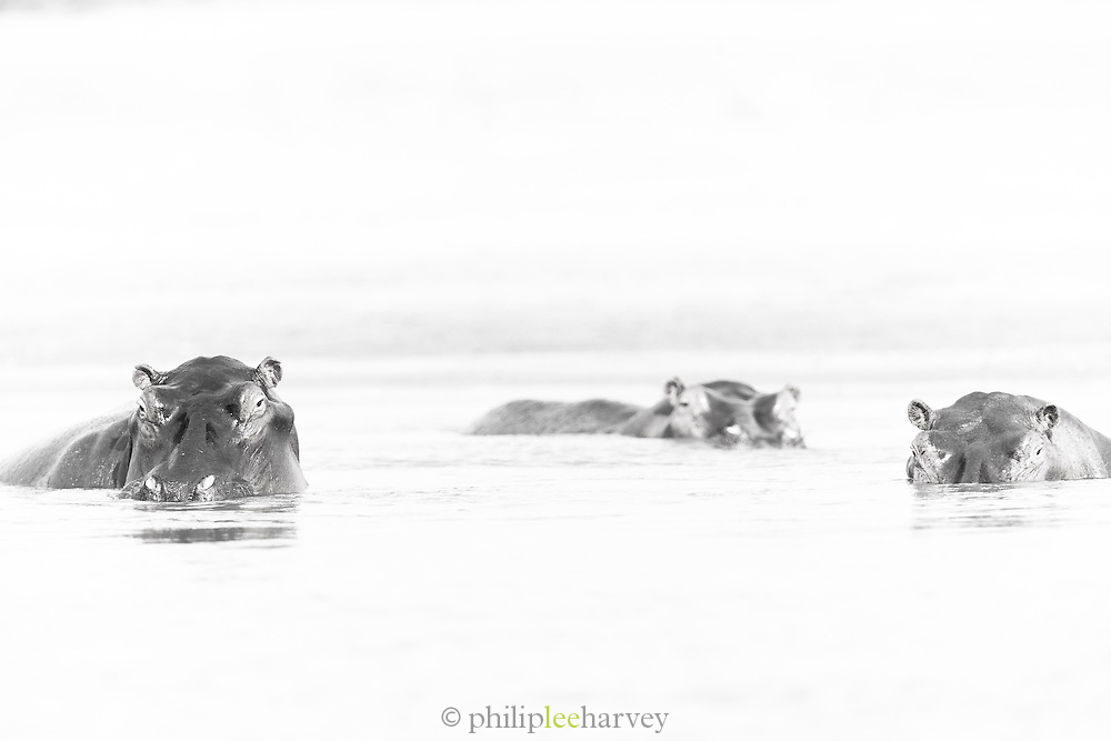 A pod of Hippopotamus on the Luangwa River Valley National Park, . Zambia, Africa