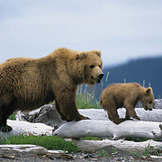 Alaskan Brown Bear, (Ursus middendorffi) Mother with cub standing on driftwood. Alaskan Peninsula.