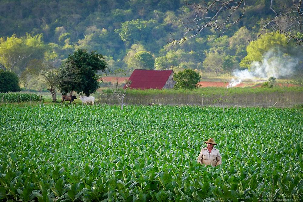 Farmer working in tobacco plantation