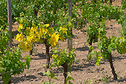 A vine in a vineyard with yellow leaves this is common in spring in chalky soil or iron poor soil and is called clorosis (chlorose). It often disappears later. Chateau Canon vineyard. Saint Emilion Bordeaux Gironde Aquitaine France