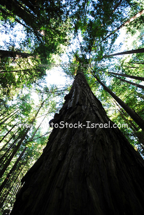 Marin San Francisco bay area California USA, Giant red wood forest at the Muir Woods National Monument