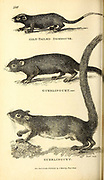 Dormouse from General zoology, or, Systematic natural history Vol 2 Mammalia, by Shaw, George, 1751-1813; Stephens, James Francis, 1792-1853; Heath, Charles, 1785-1848, engraver; Griffith, Mrs., engraver; Chappelow. Copperplate Printed in London in 1801 by G. Kearsley