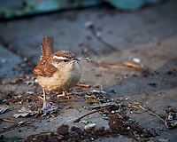 Carolina Wren. Image taken with a Nikon D5 camera and 600 mm f/4 VR telephoto lens (ISO 1600, 600 mm, f/5.6, 1/800 sec).