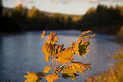 Leaves glimmer at sunset on the shores of the Yakima River near Cle Elum, Washington.
