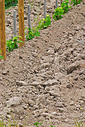 A close up detail of the sandy clay soil in the Chateau Plince vineyard, with very young vines recently planted  Pomerol  Bordeaux Gironde Aquitaine France