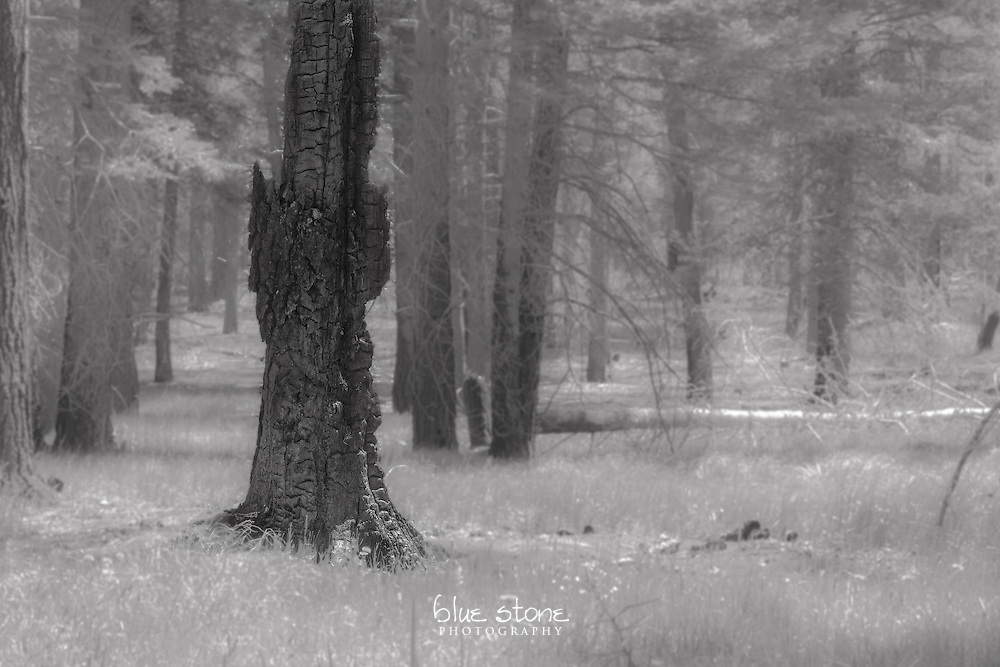 Black and white image of the remains of a tree after a wildfire represents exile from the living forest.<br /> <br /> Wall art is available in metal, canvas, float wrap and standout. Art prints are available in lustre, glossy, matte and metallic finishes.