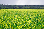Nederland, Leuth, Ooijpolder, 2-10-2019 Platteland. Veld met koolzaad, grondstof voor o.a.  biodiesel diesel brandstof. Landbouw, subsidie, eu, e.u., Europese unie, Foto: Flip Franssen