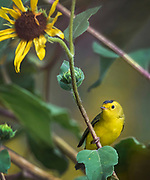 Male Wilson's warbler in sunflower field, Los Ranchos, New Mexico