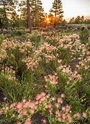 Apache Plume in bloom, Coconino National Forest, Coconino County, Arizona