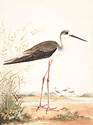 Black-winged stilt (Himantopus himantopus) The black-winged stilt (Himantopus himantopus) is a widely distributed very long-legged wader in the avocet and stilt family (Recurvirostridae). 18th century watercolor painting by Elizabeth Gwillim. Lady Elizabeth Symonds Gwillim (21 April 1763 – 21 December 1807) was an artist married to Sir Henry Gwillim, Puisne Judge at the Madras high court until 1808. Lady Gwillim painted a series of about 200 watercolours of Indian birds. Produced about 20 years before John James Audubon, her work has been acclaimed for its accuracy and natural postures as they were drawn from observations of the birds in life. She also painted fishes and flowers.