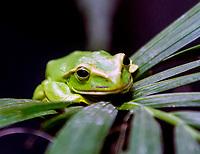 flying tree frog at zsl London zoo photos by Brian Jordan