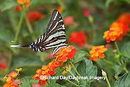 03006-003.02 Zebra Swallowtail (Eurytides marcellus) on Red Spread Lantana (Lantana camara) Marion Co.  IL