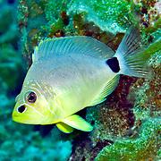 Butter Hamlet inhabit reefs in Tropical West Atlantic; picture taken San Salvador, Bahamas.