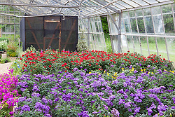 The nursery at Butterfly Jungles showing butterfly friendly plants and butterfly enclosure. Heliotropium arborescens 'Marine' in the foreground -  Heliotrope