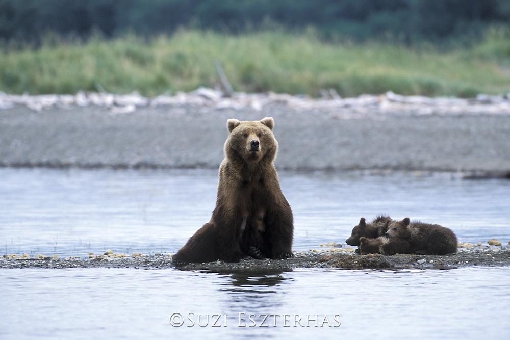 Alaskan Brown Bear<br /> Ursus arctos middendorffi<br /> Sow and 4-6 month old cubs<br /> Katmai National Park, AK