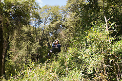 Chile, Lake Country: Canopying or ziplining adventure sport of sliding on a steel line through the canopy of the trees at Peulla.Photo #: ch623-33479..Photo copyright Lee Foster www.fostertravel.com, lee@fostertravel.com, 510-549-2202.