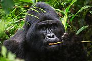 A non-habituated silverback mountain gorilla (Gorilla beringei beringei) feeding peacefully on the forest floor, Bwindi Impenetrable Forest, Uganda, Africa