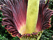"""©London News pictures...27/10/2010.  The 'flower' that smells like rotting meat is flowering today in its full smelly bloom. The displaycould lastfortwo more days- titan arums are usually spent within three days of flowering. Thismorning,the flower began to unfurl and revealit's blood-red interior. Thepungent aroma has slowly spread around the Princess of Wales Conservatory, described as a mixture of rotting flesh andboiled cabbage. This strong smell has earned titan arum the name of 'corpse flower'. Phil Griffiths, Head of Glasshouses, at Kew Gardens said, """"The titan arum is one the most dramatic flowerings in the natural worldand is truly remarkable. They usually only last for three days so visitors should get down to the Gardens as soon as they can to see the first of the titan arums in bloom"""". The titan arum is the world's largest 'flower' and is native to Sumatra where it lives in moist rainforest conditions. In the wild, its enormous red flower and pungent aroma becomes an irresistible invitation to sweat bees and carrion flies."""