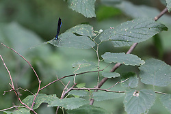 14 June 2015:   Ebony Jewel wing (Calopteryx maculata) is a species of broad-winged damselfly dragon fly on s leaf in the woods at Funks Grove Illinois.  Funks Grove is located along historic Route 66, south of Bloomington Normal and north of McLean.  The small town still has an old but non-functional railroad depot, a country store and grain storage and processing facility.  A mile west, is the grove, a country church, outdoor chapel, nature center, cemetery and hiking trails.  The maple trees in the grove are tapped late every wither for sap which is turned into sirup