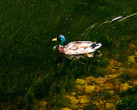Mallard (Anas platyrhynchos). Glenarm, Northern Ireland. Image taken with a Fuji X-T1 camera and 56 mm f/1.2 lens
