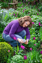 Planting summer flowering gladioli bulbs amongst tulips in a border in spring