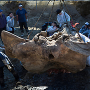 Lifting the heavy skull of an exhumed fin whale (Balaenoptera physalus) without damaging it is a delicate procedure.