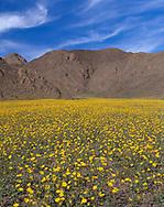 CADDV_053 - USA, California, Death Valley National Park, Field of desert sunflower (Geraea canescens) blooms beneath the Black Mountains.