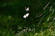 Black-veined white (Aporia crataegi); Altwarper Dune, Mecklenburg-Vorpommern, Germany | Baumweißling (Aporia crataegi), Baum-Weißling, Baumweissling; Altwarper Binnendünen, Mecklenburg-Vorpommern, Deutschland