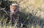 About three months old cheeta cub in Maasai Mara, Kenya.