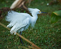 Snowy Egret in Big Cypress Swamp. Image taken with a Nikon Df camera and 400 mm f2.8 lens (ISO 800, 400 mm, f/5.6, 1/1000 sec).