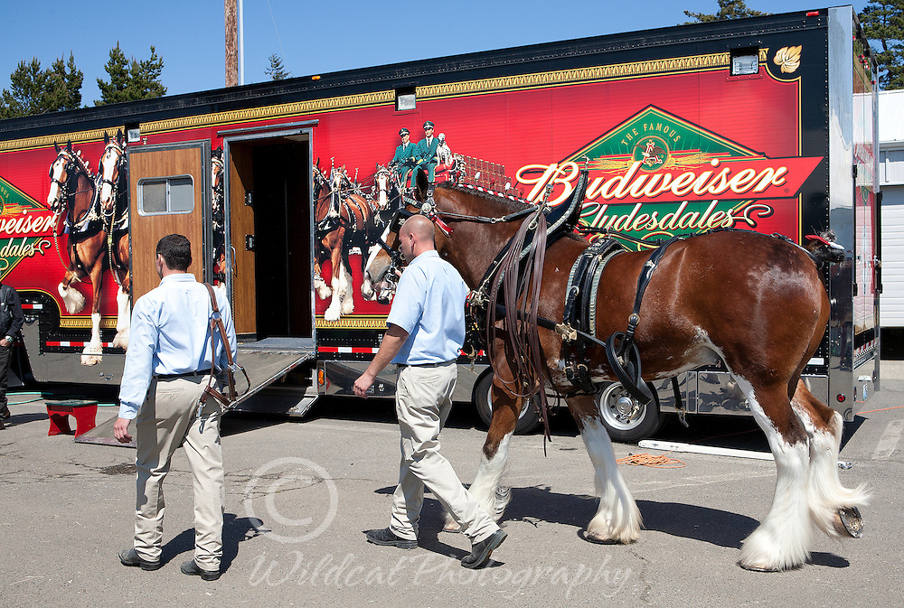 World Famous Clydesdales in town for parade