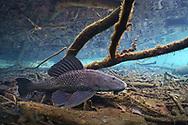 Sailfin Catfish<br /> <br /> Isaac Szabo/Engbretson Underwater Photography