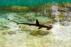 scalloped hammerhead shark, Sphyrna lewini, juvenile, Hawaii, Pacific Ocean (c)