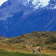 Guanaco in front of Torres del Paine