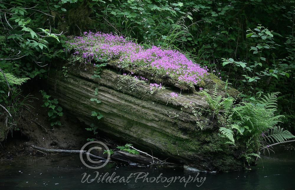 Purple wildflowers growing on old cedar log.