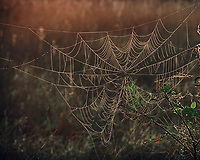 Dew Covered Spider Web at Sunrise. Big Cypress Swamp National Preserve in Florida. Composite of 3 Images taken with a Nikon Df camera and 80-400 mm VRII lens (ISO 100, 140 mm, f/8, 1/50, 1/13, 1/3 sec). Raw image processed with Google HDR Efex Pro.