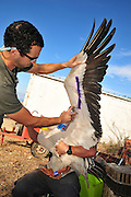 Great White Pelican (Pelecanus onocrotalus) are being ringed and marked before being released back back to nature. Painting the underside of the wing helps identify the bird from the ground. This will allow researchers to better understand the birds migration mechanism. Photographed at the Carmel Hai-Bar Animal Sanctuary in Israel