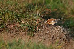 Kneu, Carduelis cannabina, Heikneuter, Common Linnet