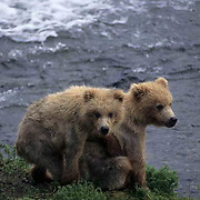 Alaskan brown bear (Ursus middendorffi) pair of cubs. Brooks River, Alaska