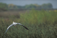 Great Blue Heron flying over reeds, Los Banos State Wildlife Area, Central Valley, Merced County, California