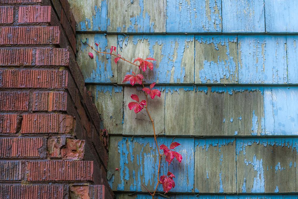 Autumn vines and brick chimney, abandoned house, October, Upper Peninsula, Michigan, USA