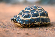 Spider tortoise (Pyxis arachnoides) from the spiny forest of Berenty, southern Madagascar.