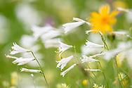 Blumenwiese mit überdurchschnittlich vielen Paradiesliien (Paradisea liliastrum) und einer Arnika (Arnika montana) an einem Sommerabend im Juni oberhalb Savognin im Naturpark Parc Ela