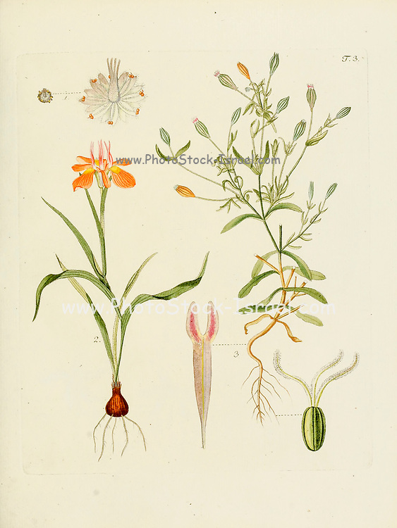 hand painted Botanical illustration of flower details leafs and plant from Collectaneorum Supplementum by Nicolai Josephi Jacquin Published 1796. Figure 3