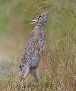 An eastern cottontail (Sylvilagus floridanus) rabbit reaches for grass in the Skagit Wildlife Area on Fir Island in Washington state. The eastern cottontail is the most common rabbit species in North America.