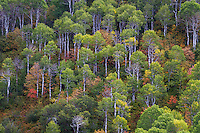 Fall colors of the aspen and maple trees in the Wasatch Mountains of Utah.