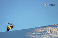 Bull elk on ridge at last light in Yellowstone National Park, Wyoming, USA