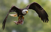 Bald eagles at Ft. Donelson State Park, Saturday, May 16, 2020, in Dover, Tennessee. (Wade Payne/www.wadepaynephoto.com)