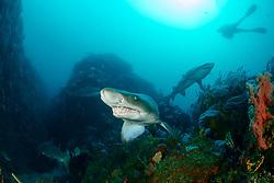 Carcharias taurus, Sandtigerhai und Taucher, Gray Nurse Shark, Sand tiger shark or Raggedthoothed Shark and scuba diver, Porth Elizabeth, Algoa Bay, Suedafrika, Indischer Ocean, South Africa, Porth Elisabeth, Indian Ocean, MR Yes
