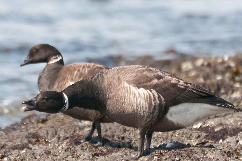 A pair of brant geese (Branta bernicla) at Alki Beach, West Seattle, Washington.  Photo by William Byrne Drumm.